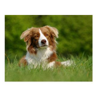 Postcard/dogs border collie portrait postcard