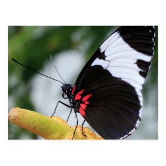 Postcard/Doris Longwing Butterfly Postcard