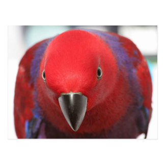 Postcard Eclectus parrot red female pet