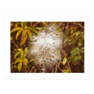 "postcard, ""FLUFFY WHITE MILKWEED"""
