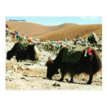 Postcard Himalayan Yaks