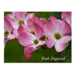 Postcard:  Horizontal Dogwood Postcard