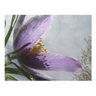 Postcard - Lavender Pasque Flower photograph