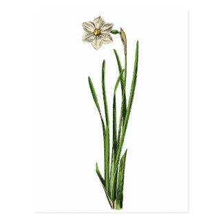 Postcard - Narcissus