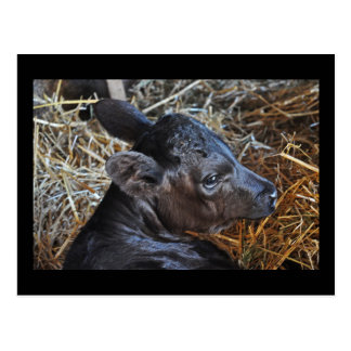 Postcard  of  Calf in Straw.