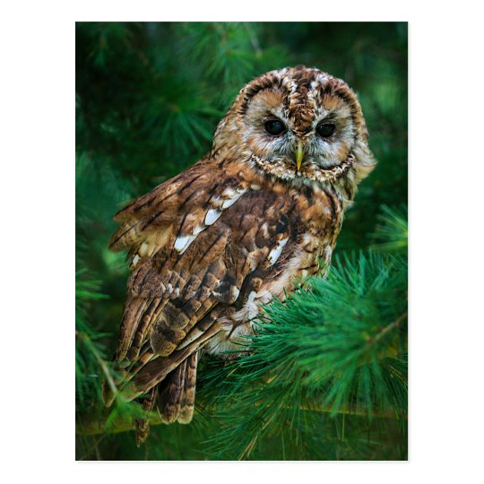 Postcard of tawny owl in a fir tree
