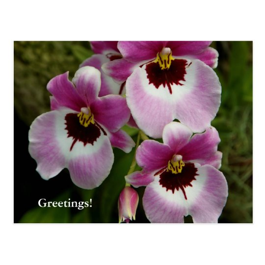 Postcard - Pansy Orchid