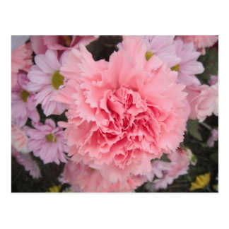 Postcard Pink Carnation Beauty