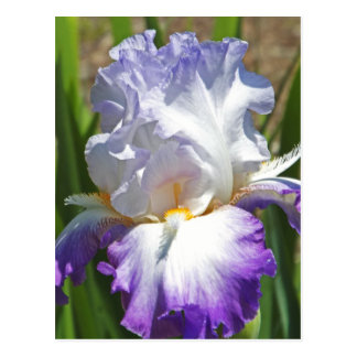 "postcard, ""PURPLE & WHITE IRIS WITH TOUCH OF GOLD"" Postcard"