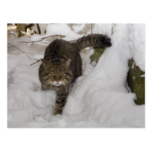 Postcard - Scottish wildcat
