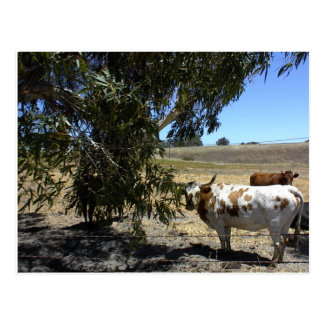 Postcard: Steer under tree in Paso Robles, CA Postcard