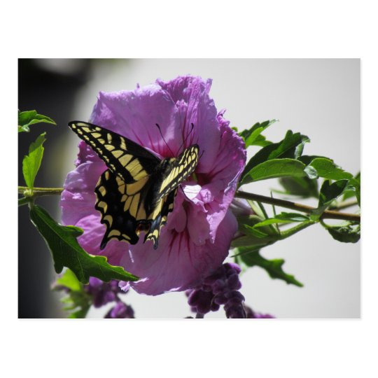 Postcard - Swallowtail Butterfly on Blossom