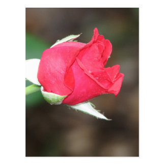 Postcard The Red Rose