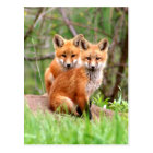 Postcard with photo of red fox kits