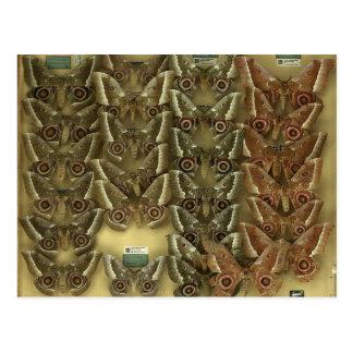 Postcard with Saturniidae butterflies