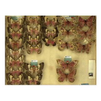 Postcard with Saturniidae moths