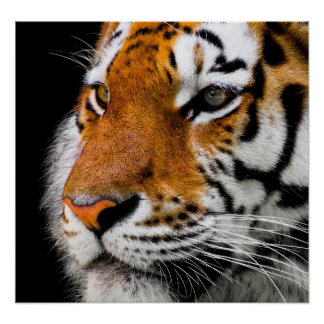Poster, 24x20, image, design, tiger head, custom poster