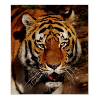Poster, 24x24, image, custom, design, tiger, water poster
