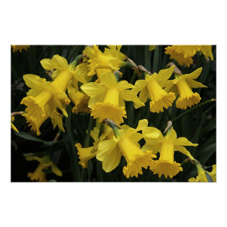 """Poster, """"A Medley of Daffodils"""" Poster"""