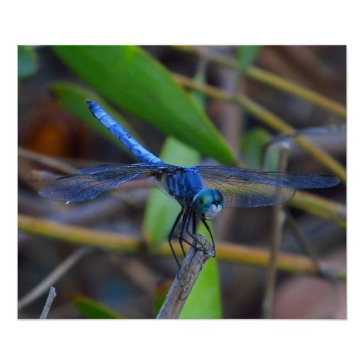 Poster - Blue dragonfly