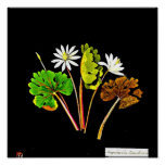 Poster-Botanical Art-Mary Delany 14 Poster