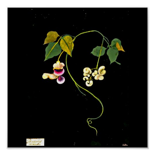 Poster-Botanical Art-Mary Delany 5 Poster
