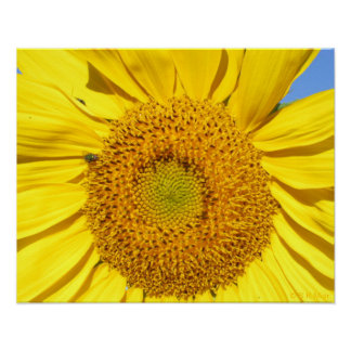 Poster - Fly on Sunflower