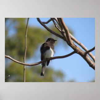 Poster - Flycatcher