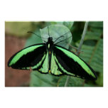 Poster: Green Butterfly