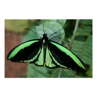 Poster: Green Butterfly Poster
