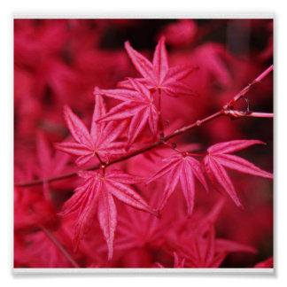 Poster-Nature-Red Maple Poster