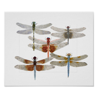 Poster of 5 dragonfly species
