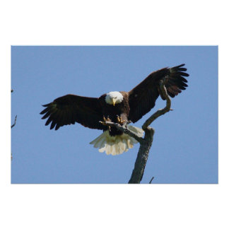 Poster of Bald Eagle landing on a branch