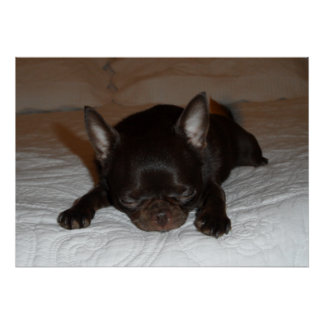 poster photo chihuahua deadened maroon pup