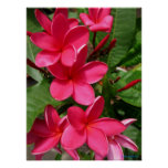 poster - pink plumerias