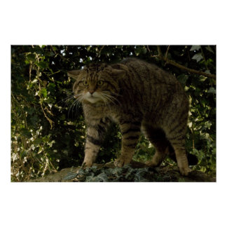 Poster - Scottish wildcat