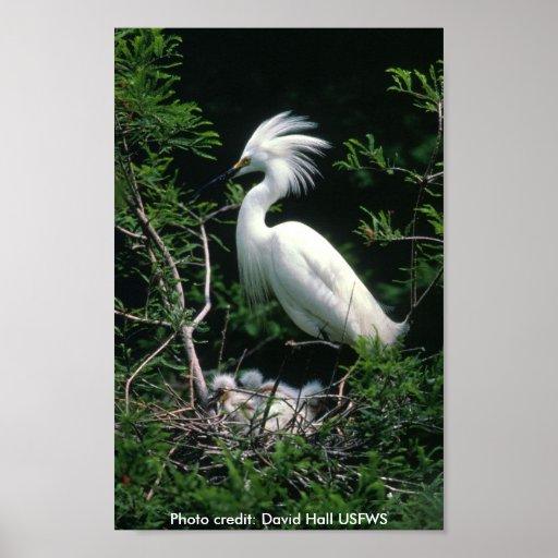 Poster / Snowy Egret