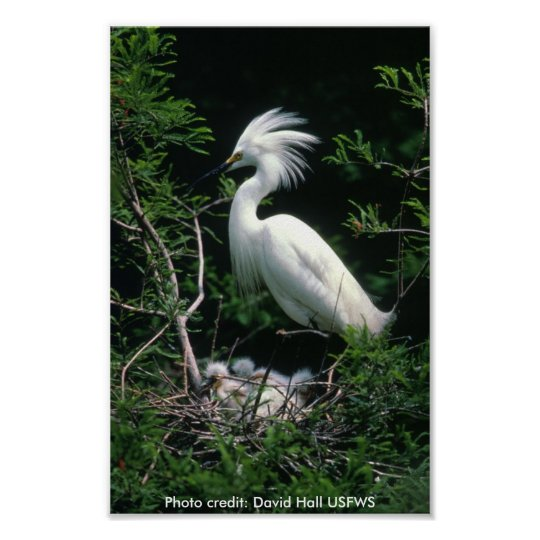 Poster / Snowy Egret