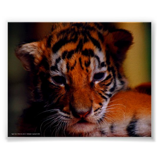 Poster Tiger Cub - Photo By John A. Sylveste...