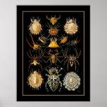 Poster Vintage Artist Ernst Haeckel Arachnida