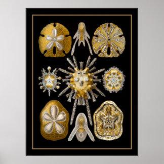 Poster Vintage Artist Ernst Haeckel Echinoidea