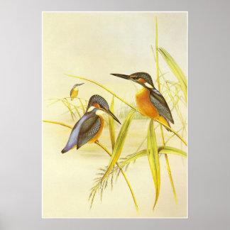 Poster Vintage Kingfisher Birds