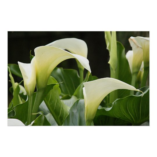 Poster, WHITE CALLA LILIES_ Horiz # 1 Poster