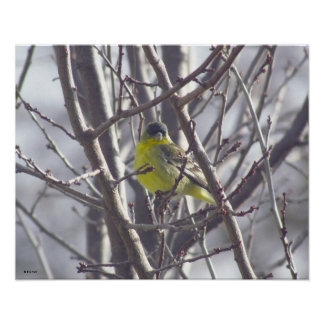 Poster - Yellow Bird in Branches