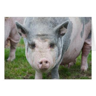 Pot Belly Pig, Norfolk UK Greeting Card