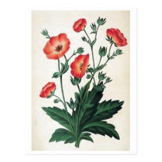 """""""Potentilla Hopwoodiana"""" Vintage Floral Postcard"""