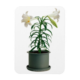 Potted Easter Lily Rectangular Photo Magnet