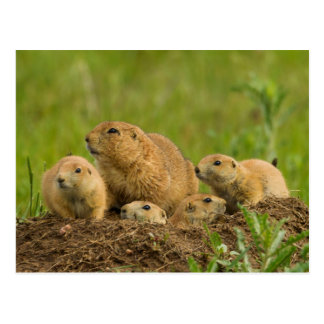 Prairie Dog Family on Den Postcard