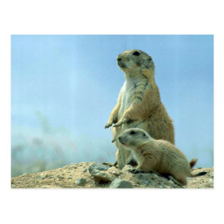 Prairie Dog Mother And Baby Postcard
