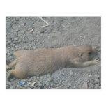 Prairie Dog Post Cards